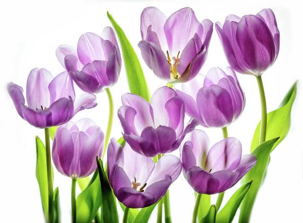 Purple Tulip Photograph - Purple Tulips by Rebecca Cozart
