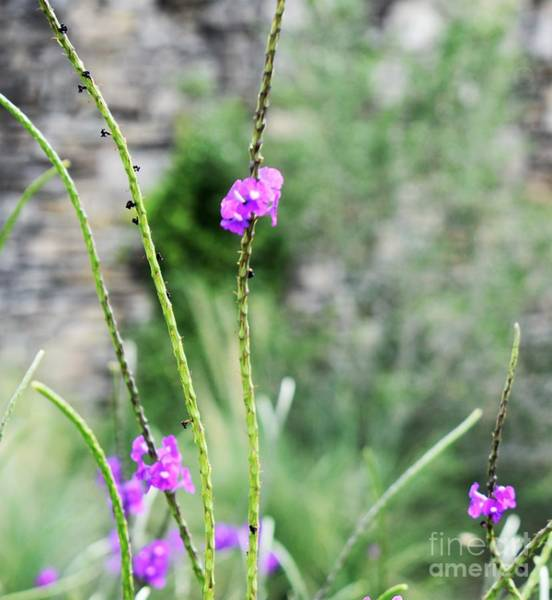 Photograph - Purple Vebena by James Fannin