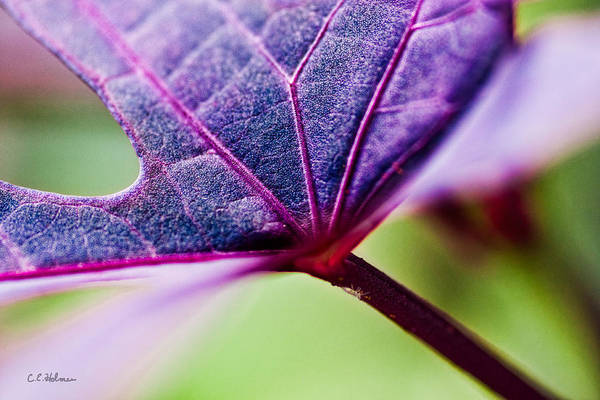 Photograph - Purple Veins by Christopher Holmes