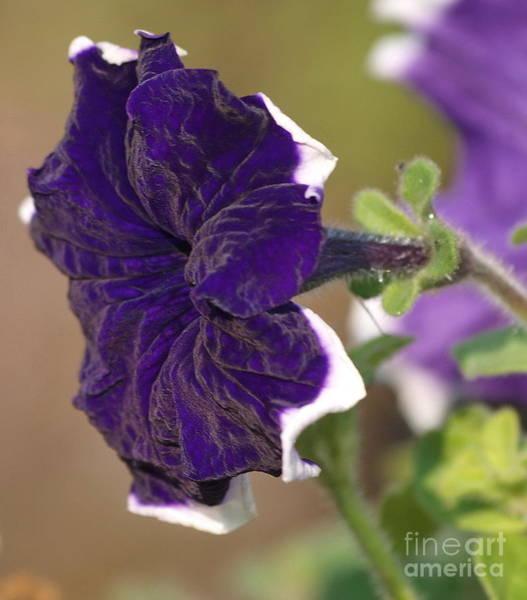 Photograph - Purple Velvet Petunia by Vivian Martin