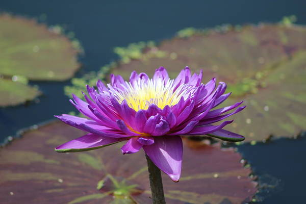 Wall Art - Photograph - Purple Water Flower by Weathered Wood