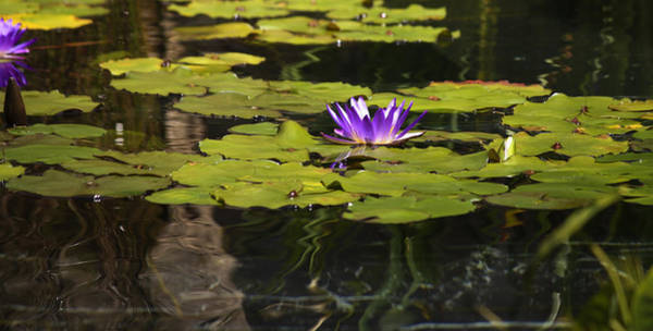 Wall Art - Photograph - Purple Water Lilly Distortion by Teresa Mucha
