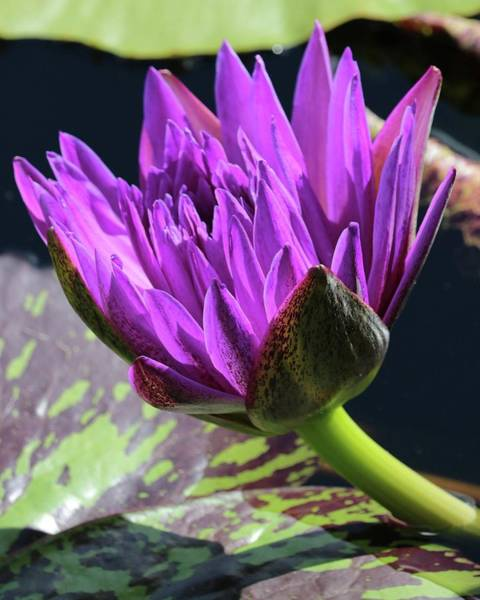 Photograph - Purple Water Lily by Harold Rau