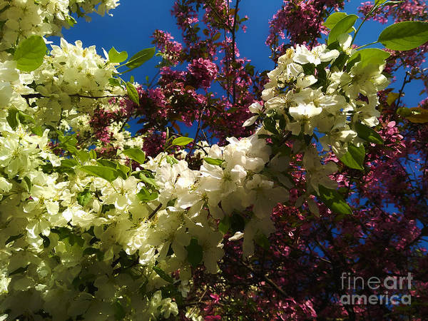 Photograph - Purple, White, And Blue by Robert Knight