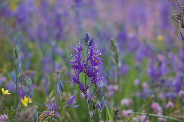 Photograph - Purple Wildflower by Brian Eberly