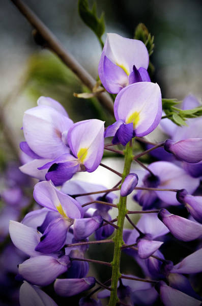 Photograph - Purple Wisteria by Greg Reed