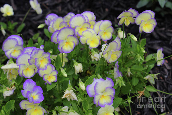 Pistil Painting - Purple Yellow Pansie Flowers by Corey Ford