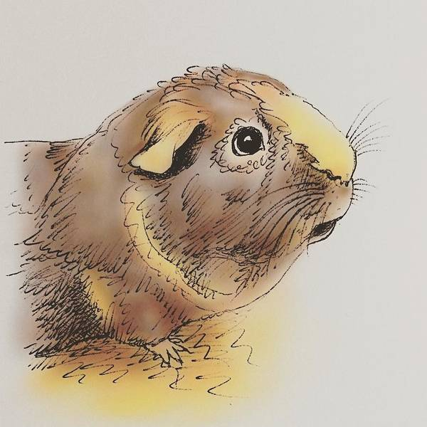 Coco Drawing - Purrfect Guinea Pig by Pookie Pet Portraits