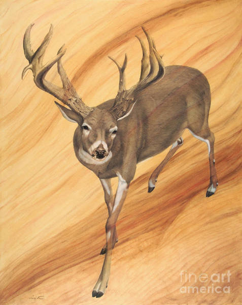 White Tailed Deer Drawing - Pursuit by Susan Fraser SCA  B Sc