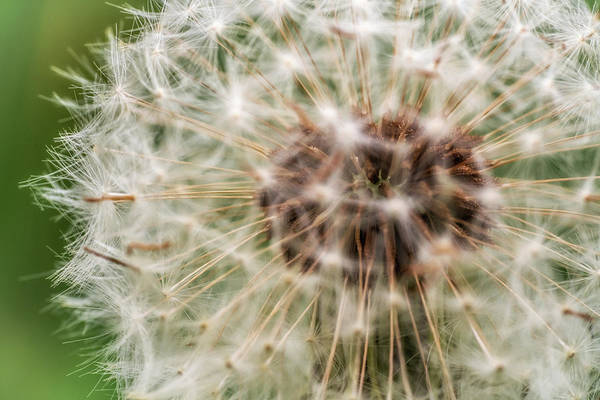 Photograph - Pusteblume by Framing Places
