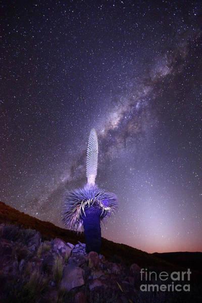 Bromelia Photograph - Puya Raimondii Milky Way And Zodiacal Light 1 by James Brunker