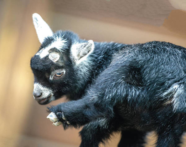 Photograph - Pygmy Goat Kid Looking At His Hoof by William Bitman