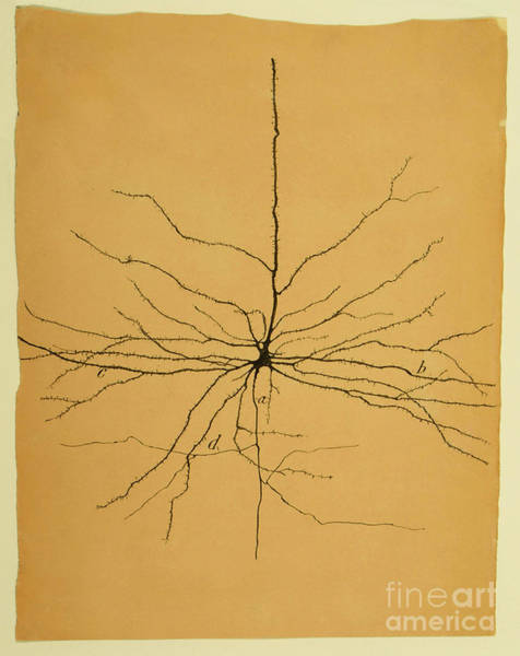 Sciences Photograph - Pyramidal Cell In Cerebral Cortex, Cajal by Science Source