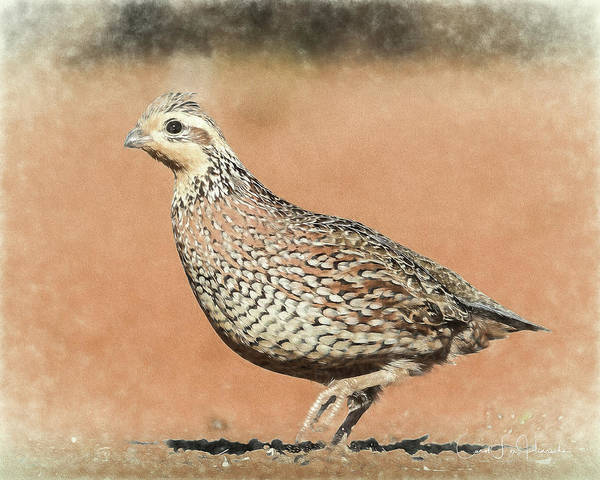 Wall Art - Digital Art - Quail by Carol Fox Henrichs