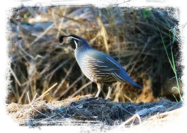 Wall Art - Photograph - Quail In Soft Light With Border by Carol Groenen