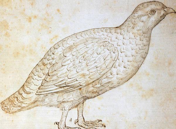 Pen And Ink Drawing Drawing - Quail by Leonardo da Vinci