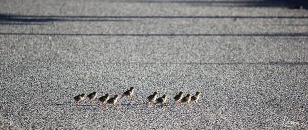 Photograph - Quail Lines by Rasma Bertz