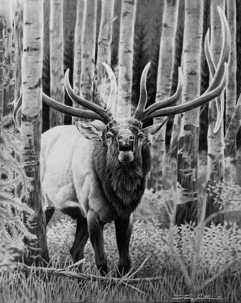 Bugling Drawing - Quaking The Aspens by Lydia Smith