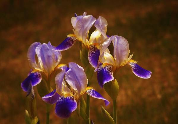 Photograph - Quarto Iris by Barbara St Jean