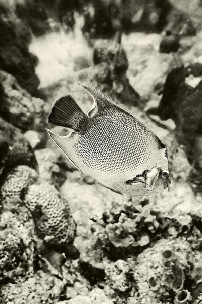 Photograph - Queen Angel Fish 2 by Perla Copernik