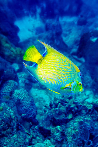Photograph - Queen Angelfish I by Perla Copernik