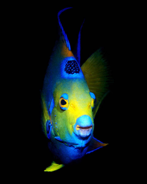 Photograph - Queen Angelfish, Roatan, Honduras by Pauline Walsh Jacobson