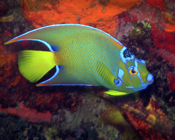 Photograph - Queen Angelfish, U. S. Virgin Islands 2 by Pauline Walsh Jacobson
