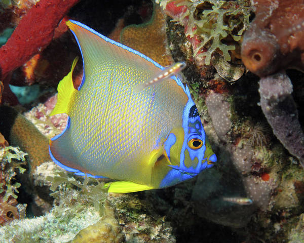 Photograph - Queen Angelfish, U. S. Virgin Islands 4 by Pauline Walsh Jacobson