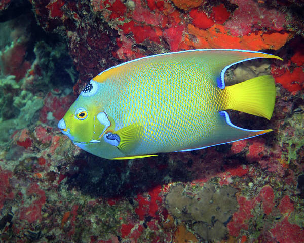 Photograph - Queen Angelfish, U. S. Virgin Islands 5 by Pauline Walsh Jacobson