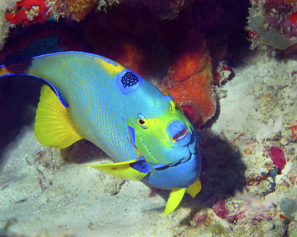Photograph - Queen Angelfish, U. S. Virgin Islands 7 by Pauline Walsh Jacobson