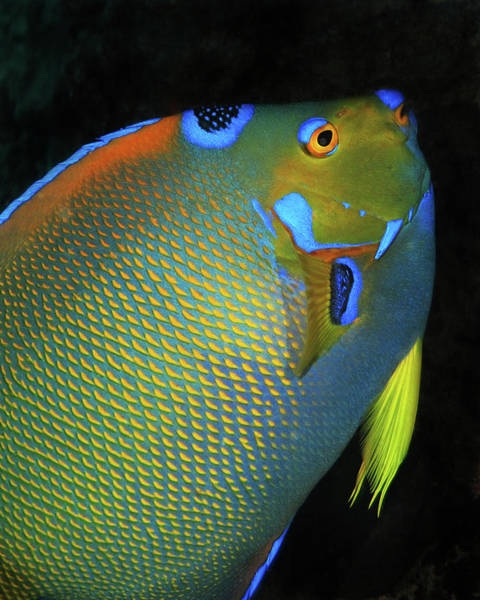 Photograph - Queen Angelfish, U. S. Virgin Islands 8 by Pauline Walsh Jacobson