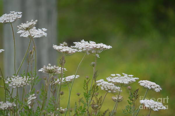 Wall Art - Photograph - Queen Anne Lace Wildflowers by Maria Urso