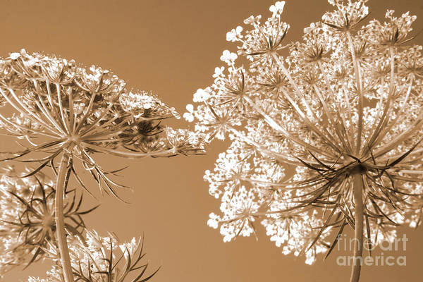 Queen Anne Style Photograph - Queen Anne's Lace 2 by Chris Scroggins