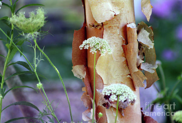 Photograph - Queen Annes Lace And River Birch by Karen Adams