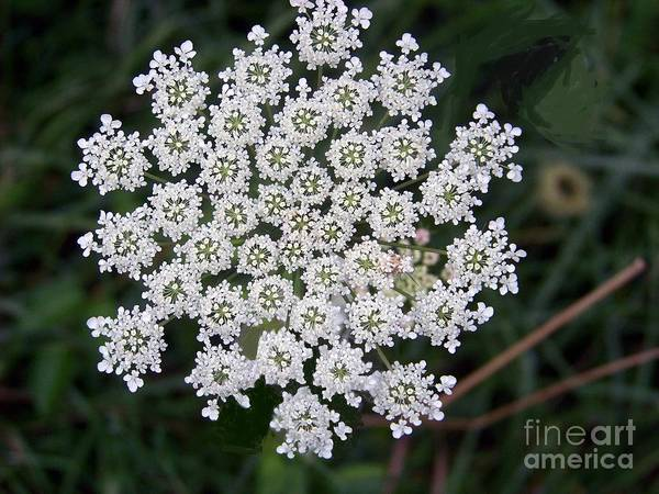 Photograph - Queen Anne's Lace by Charles Robinson