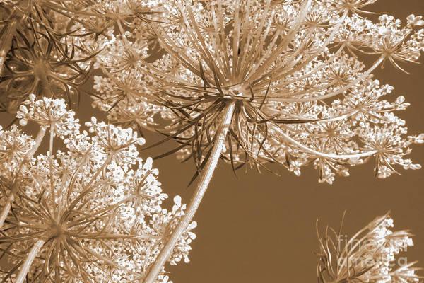 Photograph - Queen Anne's Lace by Chris Scroggins