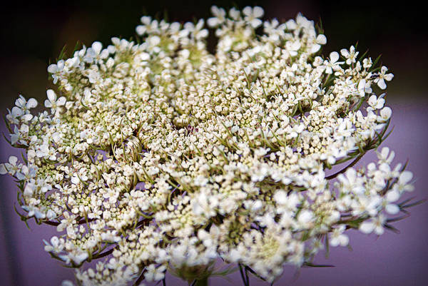 Photograph - Queen Anne's Lace by Cricket Hackmann