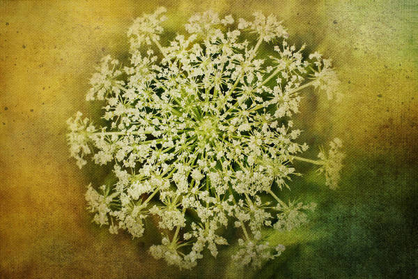 Photograph - Queen Anne's Lace Flower by Christina VanGinkel