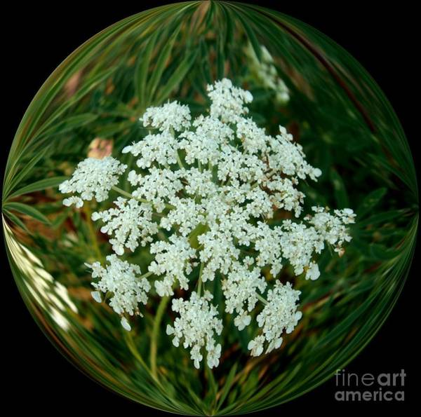 Queens Birthday Photograph - Queen Anne's Lace In A Bubble by Delores Malcomson