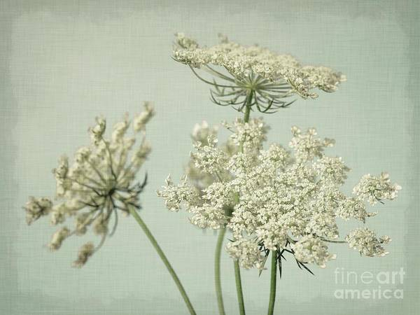 Wall Art - Photograph - Queen Anne's Lace- Mint Green by Lucid Mood