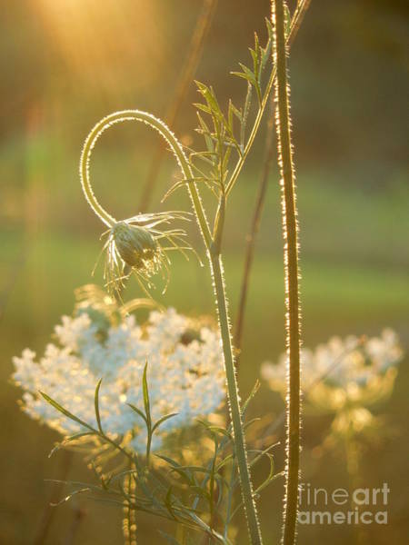 Rowena Photograph - Queen Anne's Lace Sunset by Rowena Throckmorton