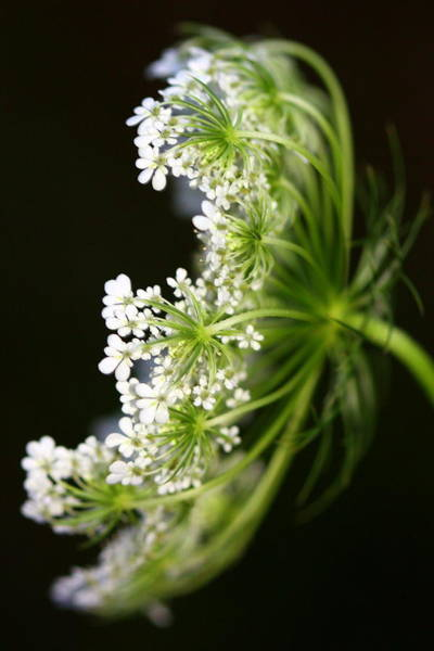 Photograph - Queen Anne's Lace by Susie Weaver