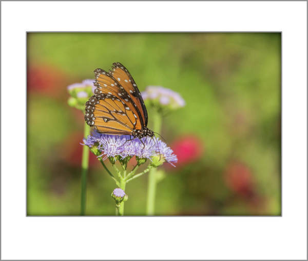 Photograph - Queen Butterfly 1893 by Tam Ryan