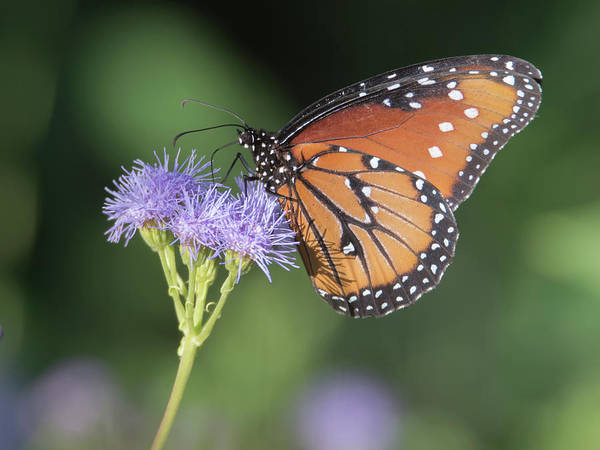 Photograph - Queen Butterfly 7474-101017-1cr by Tam Ryan
