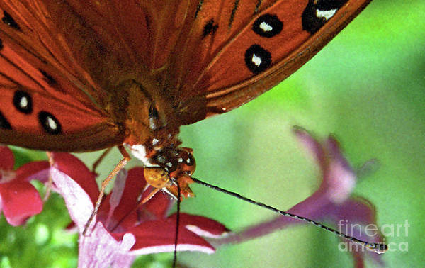 Photograph - Queen Butterfly by Richard Nickson