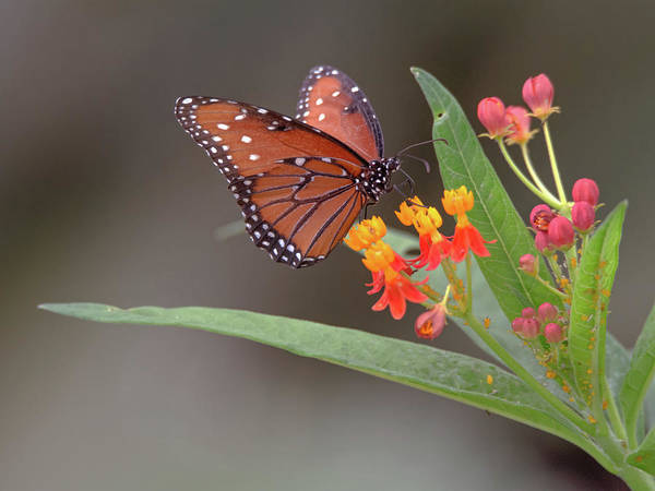 Photograph - Queen Butterfly by Tam Ryan