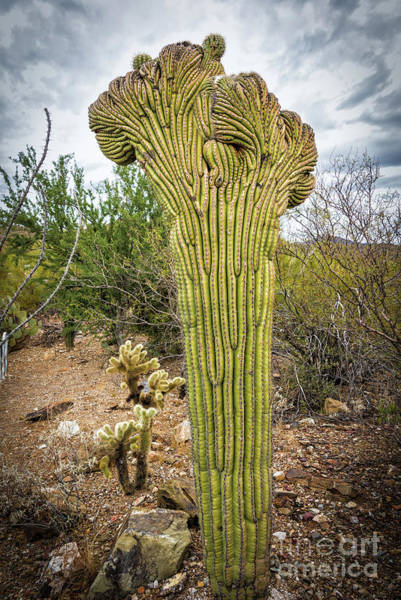 Photograph - Queen Of The Crested Saguaros by David Levin