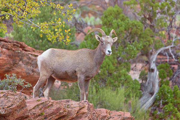 Bighorn Sheep Wall Art - Photograph - Queen Of The Hill by Brian Knott Photography