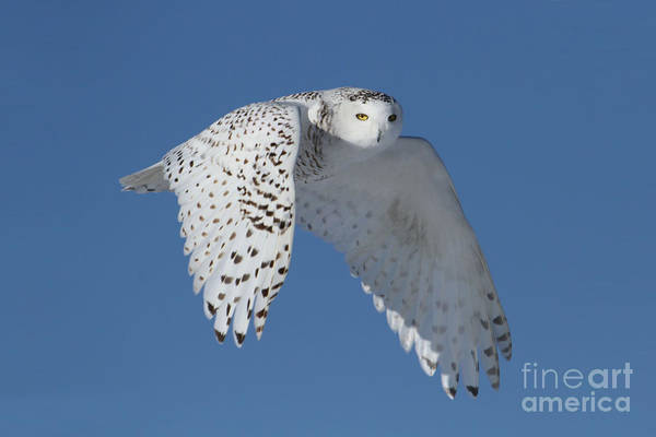 Owl In Flight Photograph - Queen Of The Sky by Heather King
