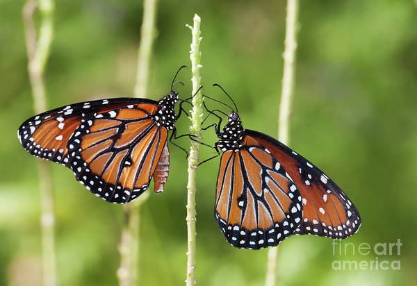 Wall Art - Photograph - Queen Butterfly Times Two by Ruth Jolly